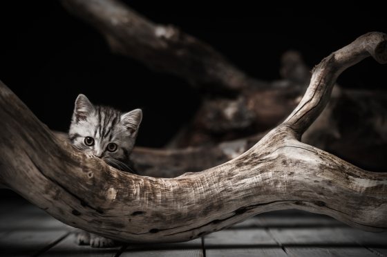 Picture of a kitten hiding behind a piece of driftwood.