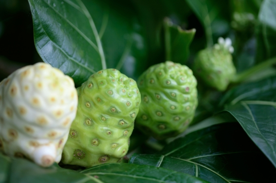 Closeup of the noni plant found in Hawaii